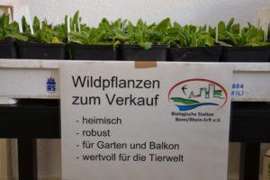 Pflanze des Jahres: Wiesenschlüsselblume