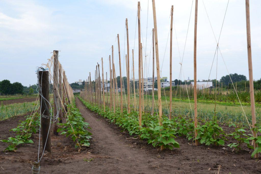 SoLaWi Bohnen auf einem Bonner Feld