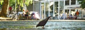 Krähe trinkt aus Pfütze vor dem Frankenbad