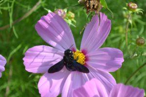 Schwarze Holzbine auf rosa Blüte