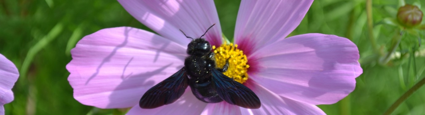 Schwarze große Bine auf rosa Blüte
