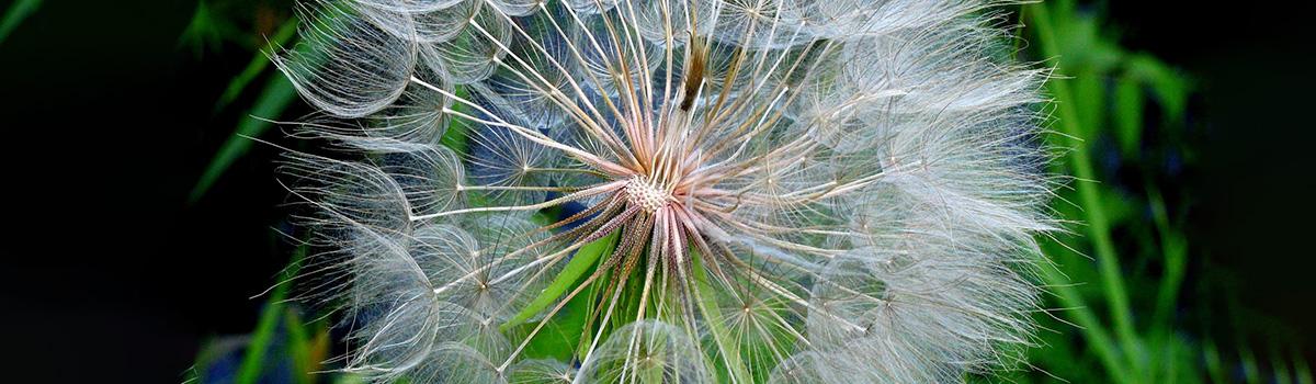 Pustblume, einige Samen schon abgelöst