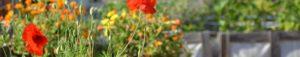 Mohnblüten mit Knospen in Pflanzkiste