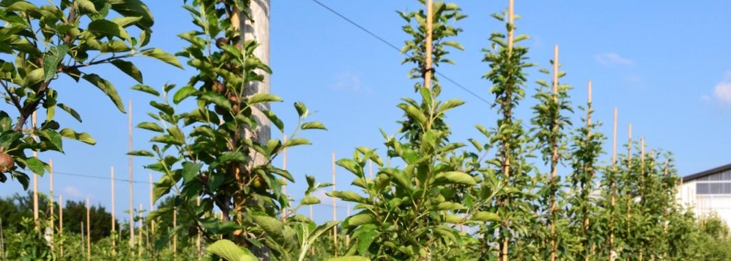 Reihe Apfelbäume vor blauem Himmel