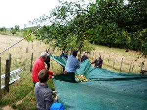 Viele Hände halten eine Plane auf der die Äpfel landen, wenn die Äste geschüttelt werden