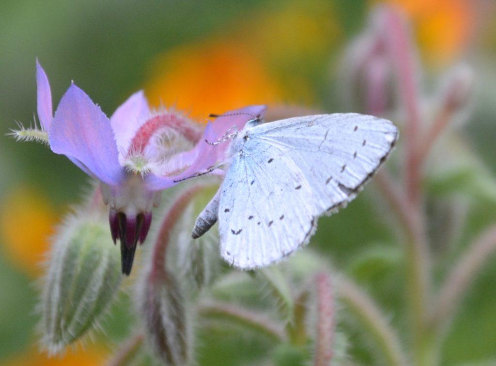 Artenvielfalt: Blauer Schmetterling auf Borretsch