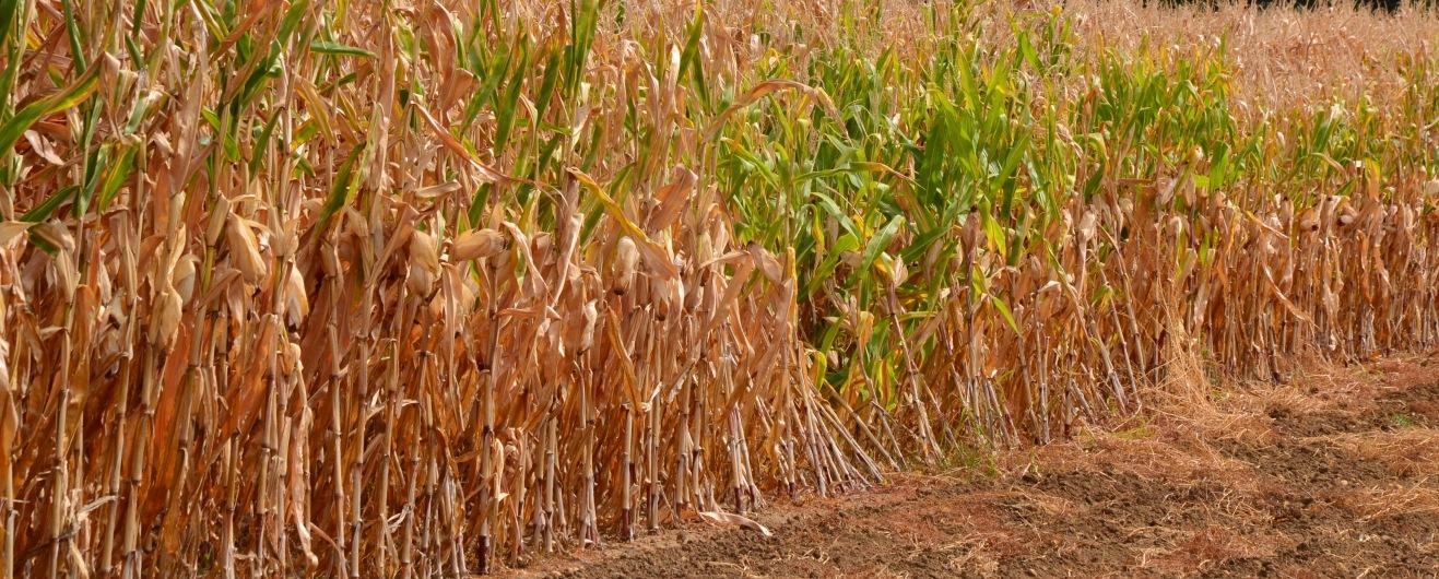 Klimafolgen- Verdorrter Mais