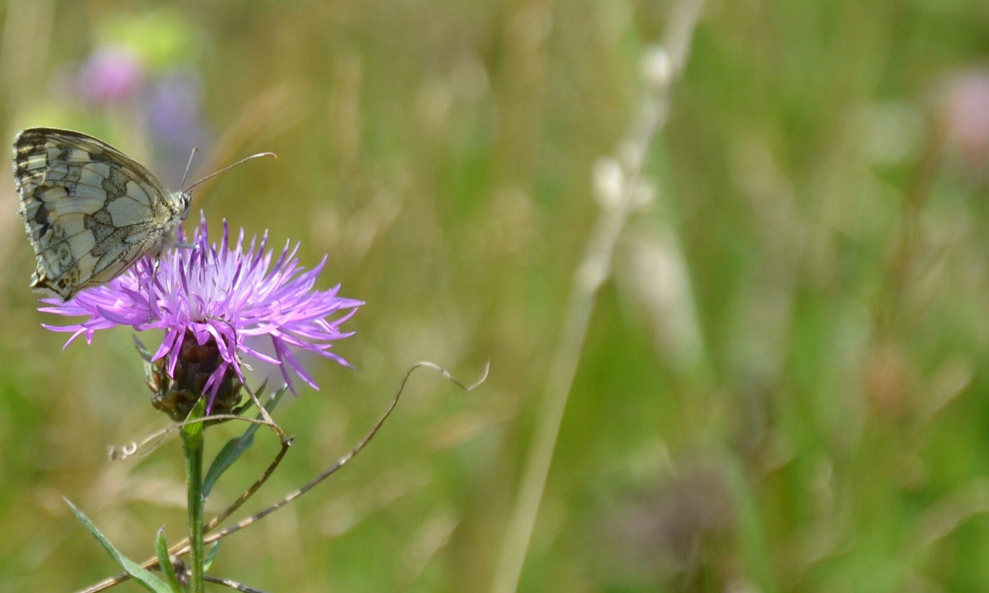 Schachbrettfalter auf Wiesenflockeblume