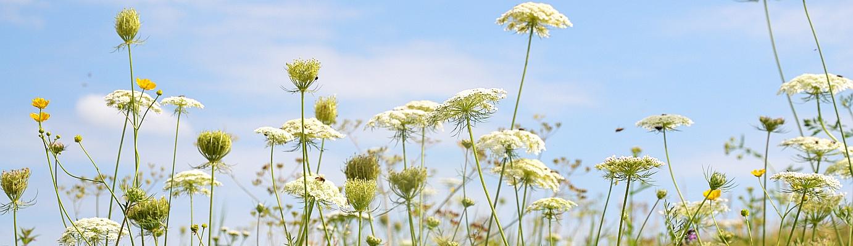 Weiße, breite Blüten über das Bild verteilt, von unten sprießend, im Hintergrund der blaue Himmel mit kleiner Wolke